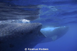 2 whalesharks by Rasmus Madsen 
